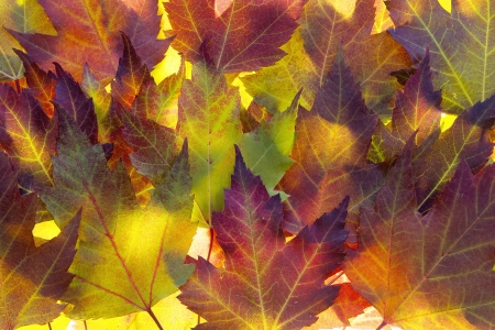 heap: Fall Maple Leaves Background Backlit in Autumn Sun Stock Photo