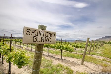 sauvignon blanc: Sauvignon Blanc Grapes Plant Growing in Vineyard in Maryhill Washington State Stock Photo