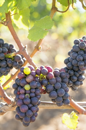 Bunches of Red Wine Grapes Hanging on Grapevines in Sunlight Фото со стока
