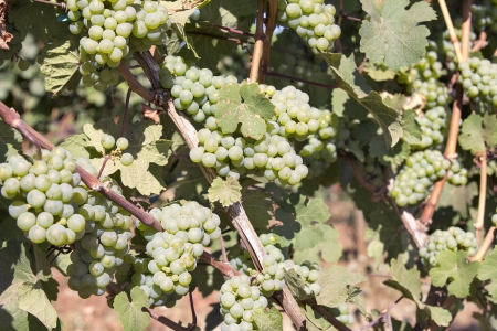 Green White Wine Grapes growing on Grapevines