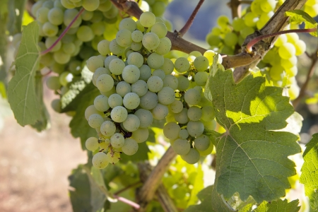 Bunches of Green Grapes for White Wines growing on Grapevines in Vineyard 2 Stock Photo