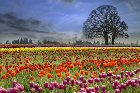Colorful Tulip Flowers Blooming in Tulips Field at Spring Season One Foggy Morning photo