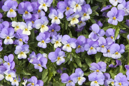 Pansy Flowers Blooming in the Garden Background