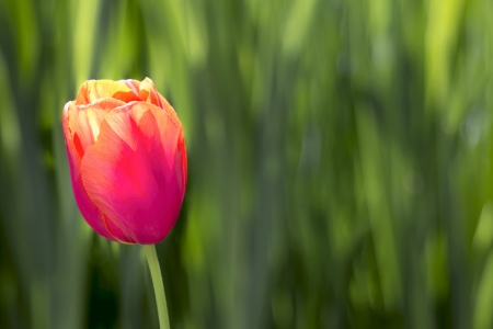 Single Pink and Yellow Colored Tulip Flower on Blurred Green Foliage Background Stock Photo - 19380702
