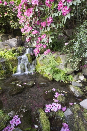 Rhododendron Pink Flowers Blooming Over Waterfall at Crystal Springs Garden in Spring photo