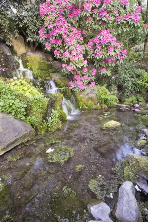 Rhododendron Pink Flowers Blooming Over Waterfall and Pond at Crystal Springs Garden in Spring photo