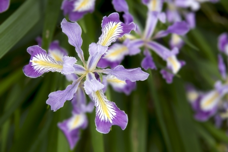 iris: Oregon Iris Flowers Blooming in Spring Season Closeup Macro