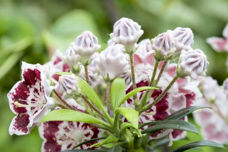 laurel mountain: Mountain Laurel Flowers and Buds Minuet Blooming with new green leaves in Spring Closeup Macro Stock Photo