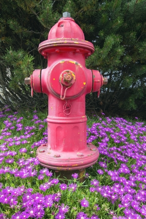 mugo: Red Fire hydrant on Bed of Creeping Ice Succulent Plant with Pink Flowers