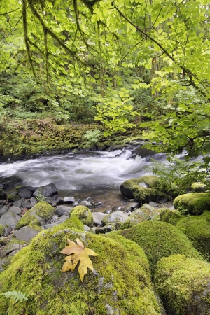 rushing water: Rushing Water with Fallen Maple Leaf Trees Moss Ferns and Rocks at Cedar Creek Washington State