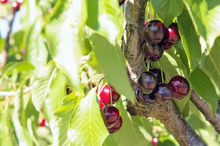 bing: Sweet Bing Cherries on Tree Branch at Fruit Tree Farm Closeup