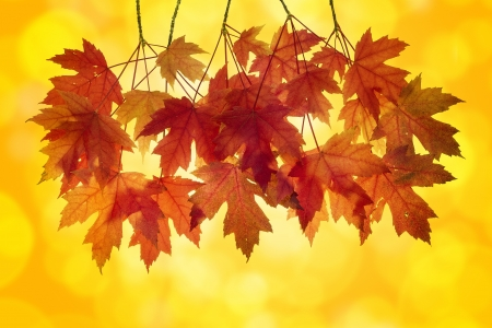 blurred lights: Red Maple Tree Leaves in Autumn with Orange Background and Blurred Bokeh Lights