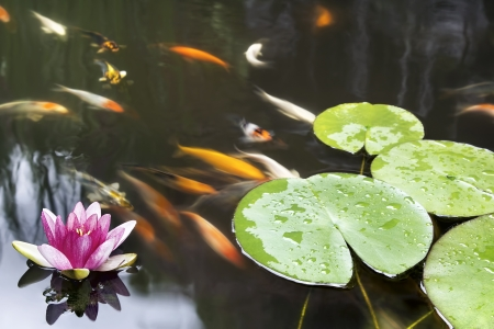 water feature: Lily Pad Leaf and Pink Flower Floating in Koi Fish Pond Stock Photo