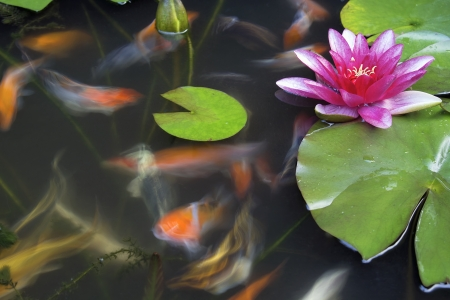 Koi Fish Swimming in Pond with Water Lily Flower and Lilypad Long Exposure Archivio Fotografico