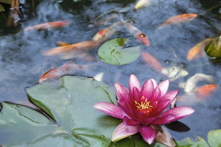 Pink Water Lily Flower Blooming in Pond with Koi Swimming with Abstract Clouds Reflection in Water Stock Photo