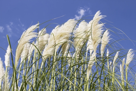 White Pampas Grass with Flowers Against Blue Sky Stock Photo - 21642453
