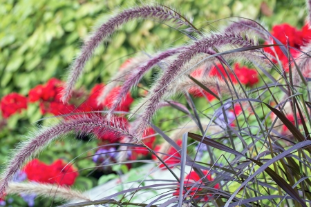 Purple Fountain Grass with Red Geranium Flowers Blooming in Background Stock Photo - 21985814