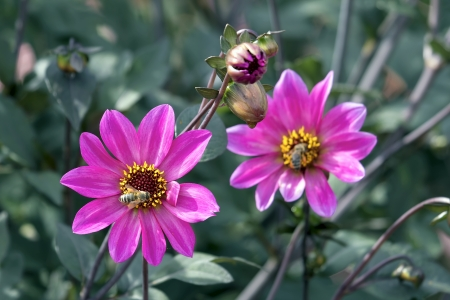 Pink Dahlia Flowers and Buds with Honeybees Closeup Stock Photo - 22119540