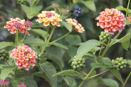 Lantana Flowers and Berries Bushes in Garden Stock Photo - 22119541