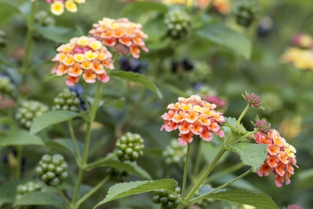 Lantana Flowers and Berries Plant Bushes in Garden Stock Photo - 22119542