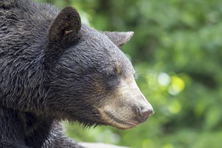 ursus: American Black Bear Pacific Northwest Wildlife Animal Portrait Closeup