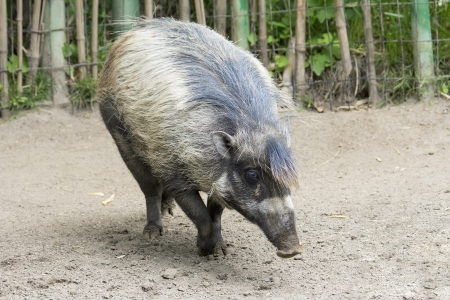 Wild Boar Full Body Walking photo