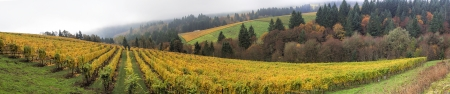 Dundee Oregon Vineyards on Rolling Hills with Morning Fog in Fall Season Panorama Stok Fotoğraf