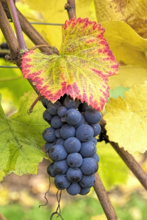 Red Wine Grapes on Vine with Fall Season Foliage Color Closeup photo