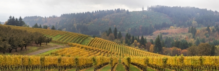 wineries: Dundee Oregon Vineyards on Rolling Hills with Morning Fog in Fall Season Scenic View Panorama