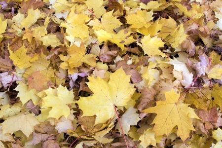 Fallen Maple Tree Leaves Piled Up on Backyard Ground in Autumn Background photo
