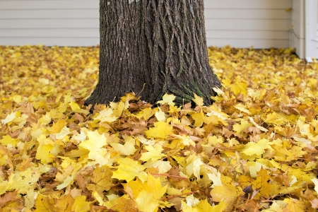 fallen: Fallen Maple Tree Leaves by Tree Trunk Piled Up on Backyard Ground in Autumn Background