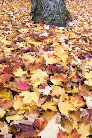 heap: Fallen Large Maple Tree Red and Yellow Leaves by Tree Trunk Piled Up on Backyard Ground in Autumn Background