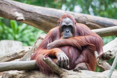 apes: Sumatran Orang Utan Sitting and Staring
