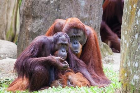 orang: Sumatran Orang Utan Couple Stock Photo