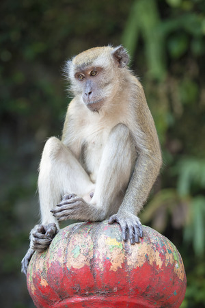roaming: Macaque Monkey Sitting on Top of Post on Stairs at Batu Caves in Malaysia Stock Photo