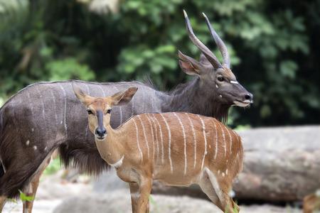zimbabwe: Nayala africano cornudo Antílope masculino y femenino par