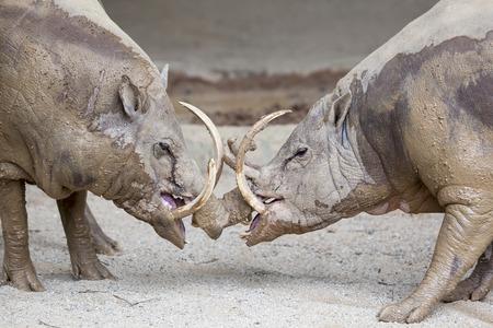 Babirusa Deer-Pig Wild Boar Pair Facing Each Other