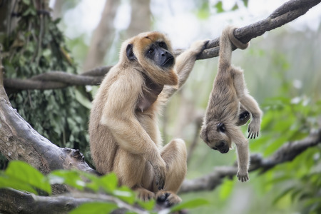 howler: Mother Howler Monkey Sitting on a Tree Branch with Baby Monkey Hanging Upside Down