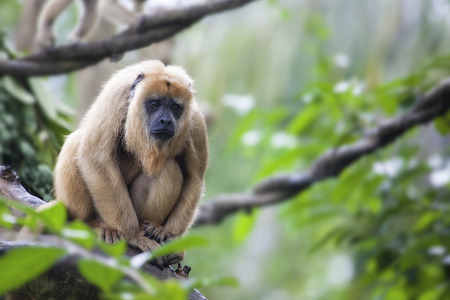 Female Howler Monkey Sitting on a Tree Branch Stock Photo