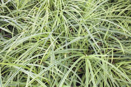 groundcover: Variegated Monkey Grass Groundcover Background