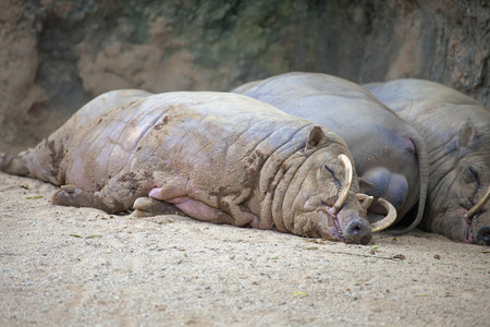 Babirusa Deer Pigs Wild Boar From indonesia Sleeping Taking an Afternoon Nap photo