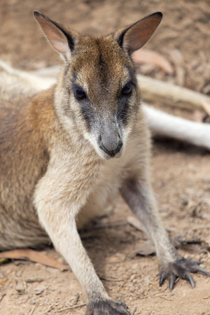 front facing: Kangaroo Front Facing Closeup Portrait