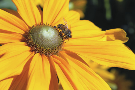 Honey Bee Pollinating Yellow Dahlia Flower Closeup Macro Banco de Imagens