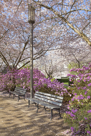 Park Benches by Lamp Post in the Park During Spring Time with Cherry Blossom Trees and Azalea Shrubs in Bloom