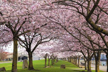 Rows of Japanese Cherry Blossom Trees in Bloom at Portland Oregon Downtown Waterfront Park in Spring Stockfoto