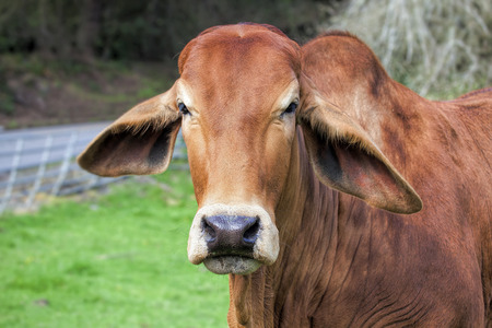 brahman: American Brahman Cow Cattle Closeup Portrait