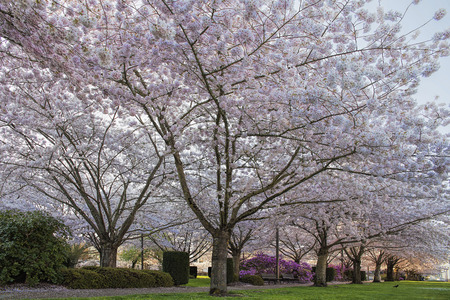 state of oregon: Cherry Tree Blossom at State Capitol State Park in Salem Oregon
