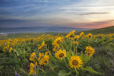 Arrowleaf Balsamroot Wildflowers Blooming in Spring at Columbia Hills State Park Along Columbia River Gorge with Mt Hood View Archivio Fotografico