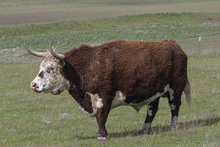 Cattle with Horns and Fur Side Full Body Portrait at Washington State Farm Ranch photo