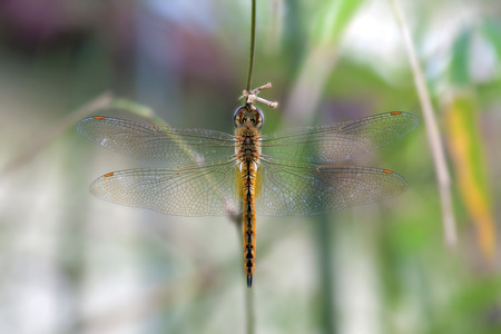 anisoptera: Dragonfly hanging on a plant twig against blurred